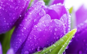 Wet-Purple-Tulips